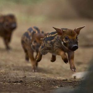 Cochons mignons qui courent