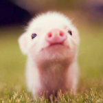 Les cochons mignons