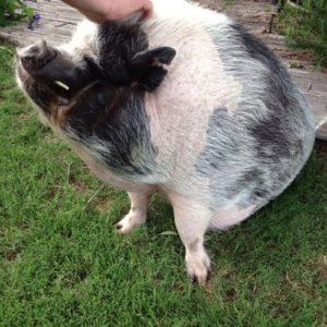 gros cochon mignon