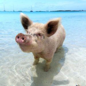 cochon mignon en vacance