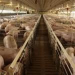 L'élevage du cochon