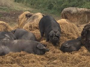 Porc noir gascon